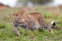 Leopard Panthera Pardus on the prowl