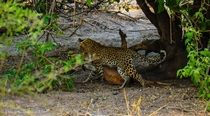 Leopard Panthera pardus with kill