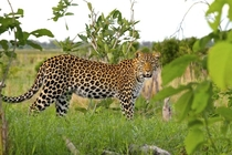 Leopard picture from the Okavango Delta