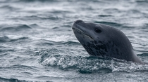 Leopard seal sticking his head out of the water