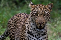 Leopard spotted in Kruger National Park South Africa  x