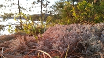 Lichen and Blueberries Overlooking Algonquin Parks Rock Late at Sunset