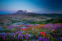 Life Among the Ruins - flowers grow at the foot of the volcano Mt St Helens which famously erupted in   photo by David Leahy