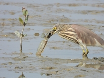 Life vs deathChinese pond heron amp Great blue spotted mudskipper