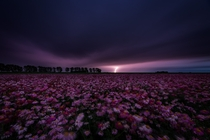 Lightning strike over field of flowers Poortvliet the Netherlands