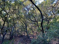 Like a dream Look at those twisted trunks Lost in a Southern California oak woodland forest not ten minutes from civilization  x