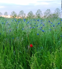Like a sun in the night lone poppy in a field of blue flowers