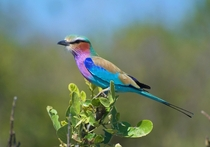 Lilac Breasted Roller Khwai Botswana x