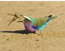 Lilac Breasted Roller vs Scorpion  x