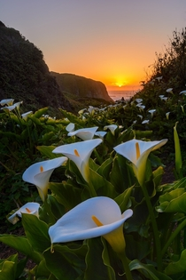 Lily filled valley off the coast of California Photo by Michael Brandt