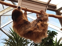 Linnaeuss two-toed sloth Choloepus didactylus taken in a Zoo in Germany by me