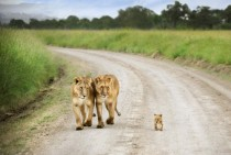 Lion cub and his lioness siblings in Masai Mara Kenya