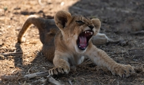 Lion cub trying to roar