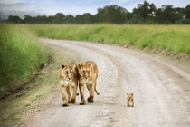 Lion Cub with Parents Panthera leo