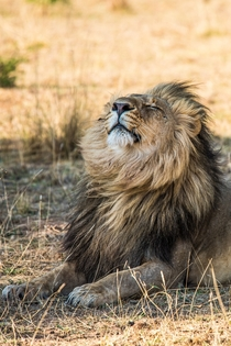 Lion enjoying the breeze Zambia Photo credit to Birger Strahl