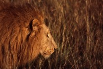 Lion in the grass in Kenya