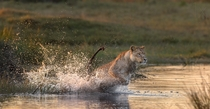 Lion Splash by Brendon Cremer