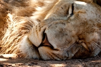 Lion taking a nap in the sun