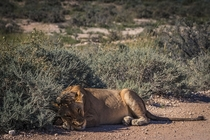 Lion taking a nap on the road in Etosha National Park