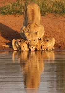 Lioness and cubs drinking x-post rpics