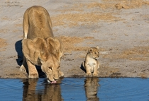 Lioness and her cub drinking water in Botswana
