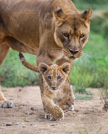 Lioness guarding her curious cub