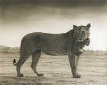 Lioness holding her cub by Nick Brandt Maasai Mara National Reserve Kenya