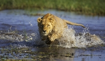 Lioness Panthera leo running through water