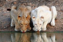 Lionesses Drinking at a Watering Hole