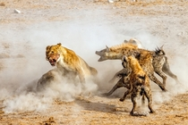 Lions Fight Hyenas over a Kill in Etosha National Park by NingYu Pao