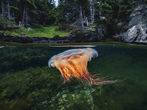 Lions mane jellyfish Bonne Bay Gulf of St Lawrence Photograph by David Doubilet National Geographic