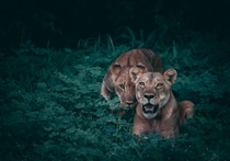 Lions Mother and cub Chobe National Park Botswana Photo credit to Geran De Klerk