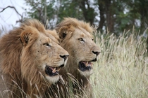 Lions Panthera Leo in South Africa