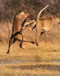 Lions play-fighting at the Madikwe game reserve