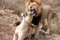Lions roaring at each other