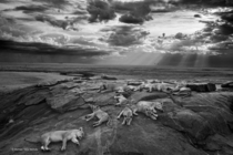 LionsPanthera leo lie at rest with their cubs on a kopje - by Michael Nichols