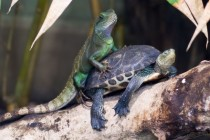 Literal Animal Porn Just a confused chinese water dragon on a turtle