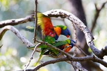 Literally Animal Porn - Lorikeets Mating Trichoglossus haematodus