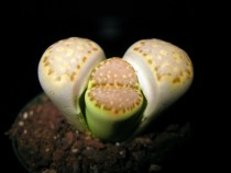 Lithops shedding