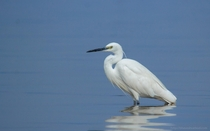 Little Egret - Egretta garzetta -  - Kumbhargaon Bird Sanctuary Bhigwan Maharashtra India