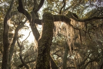 Live Oak Trees Covered in Spanish Moss