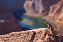 Lizard enjoying the Colorado river landscape at Horseshoe Bend Arizona