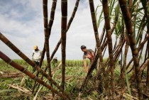 Local farmers cut sugar cane at Chea Khlang communes field in Prey Veng Cambodia