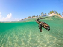Loggerhead Sea Turtle Florida