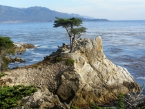Lone Cypress Tree on -mile drive in Monterey California