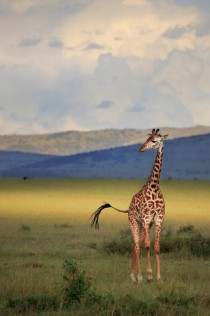 Lone giraffe and an otherwise empty African plane illuminated by the late afternoon light