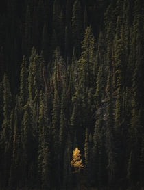 Lone larch in AB Canada