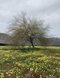 Lone Palo Verde Cercidium floridum in a field of Desert Dandelions Malacothrix glabrata in the Anza-Borrego Desert last Spring  - Getting ready for this years bloom