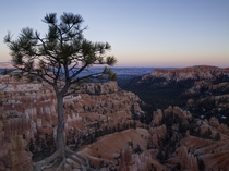 Lone pine in Bryce Canyon Utah