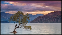 Lone Sunset - a lonely tree partially submerged in Lake Wanaka New Zealand  photo by Sebastian Warneke